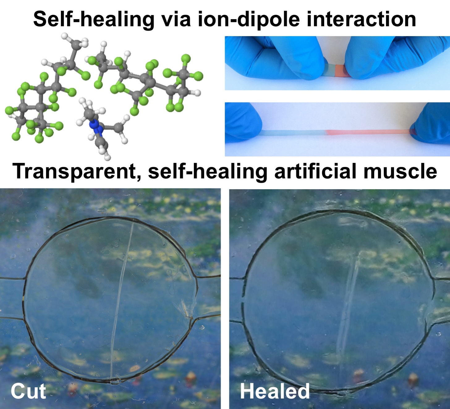 Wolverine-inspired transparent material is self-healing