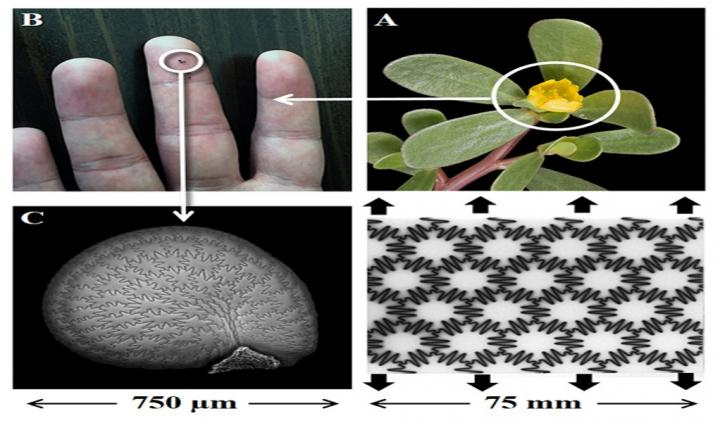 Seed Coats Could Lead to Strong, Tough, Flexible Materials